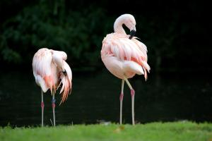 Landau_67_Chile_Flamingo